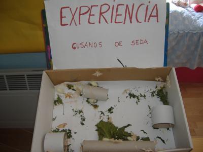 EXPERIENCIA : GUSANOS DE SEDA  12